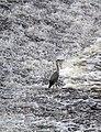 Heron (8894007278).jpg