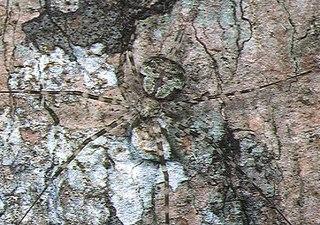 <i>Hersilia</i> (spider) genus of arachnids