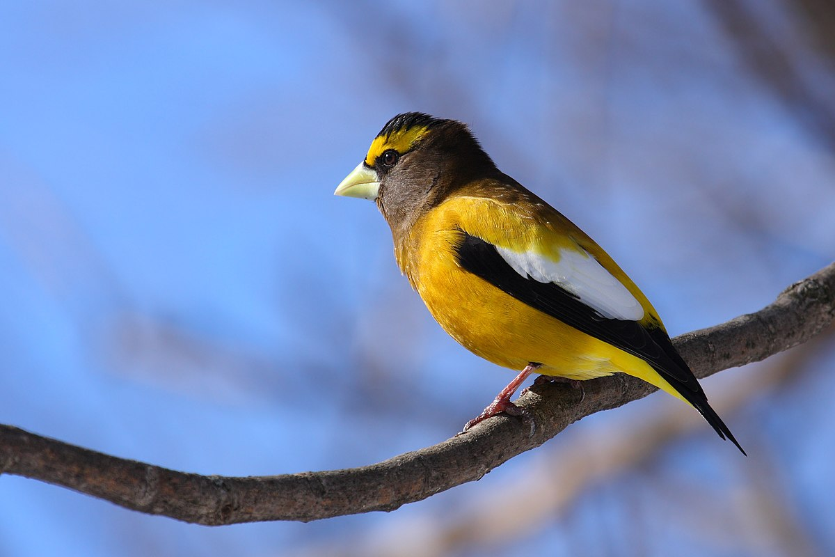 Evening grosbeak wikipedia for Oiseau jaune et noir