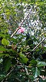 Hibiscus Pink Flower Rose picture at the village - 2020 .jpg