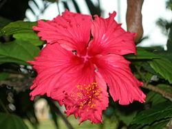 Hibiscus ke fuul