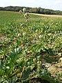 Hibiscus trionum sl72.jpg