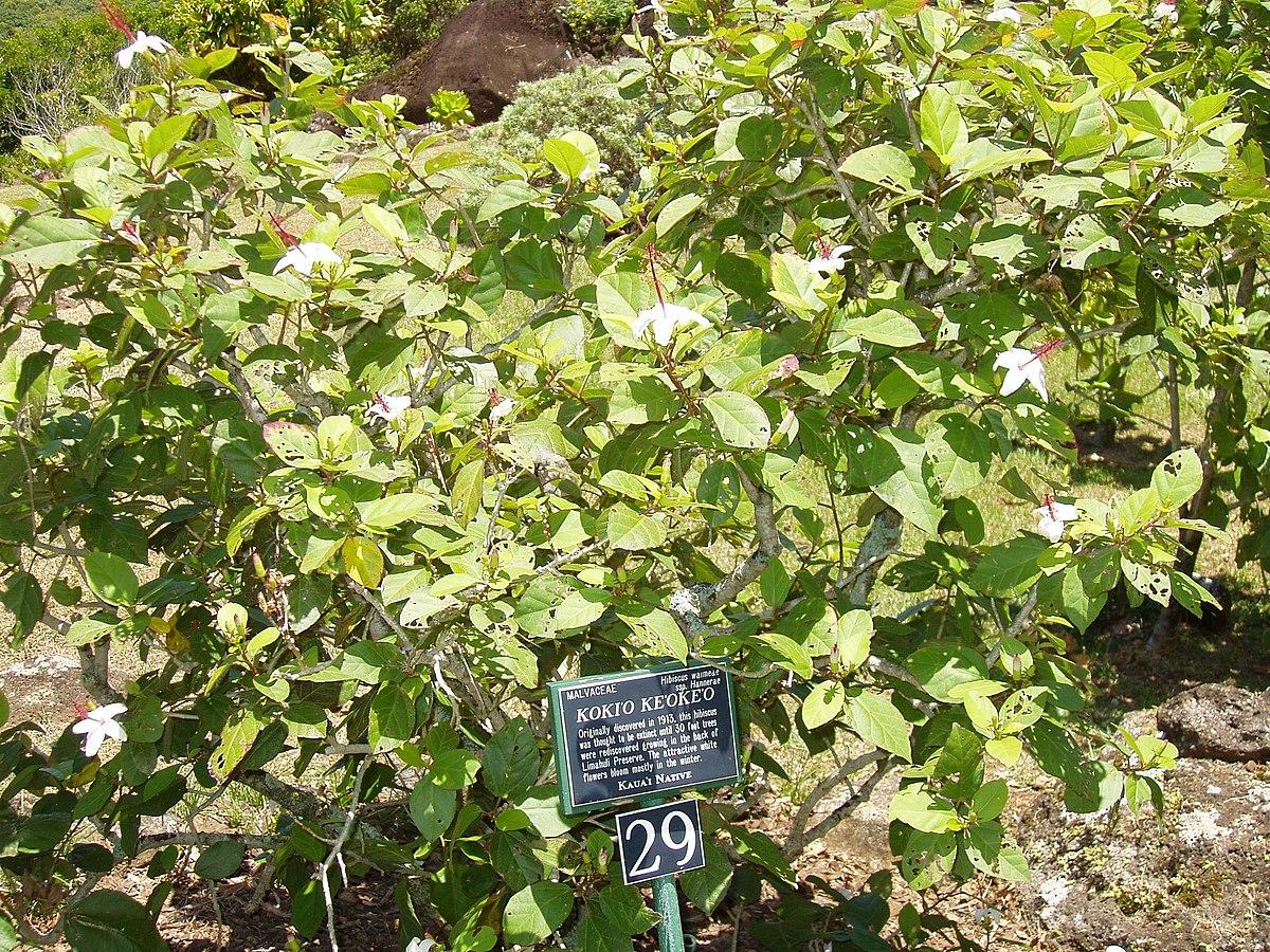 Hibiscus Waimeae Wikipedia