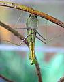 Hierodula membranacea 01.jpg