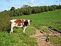 Hillside dairy pasture - geograph.org.uk - 986801.jpg
