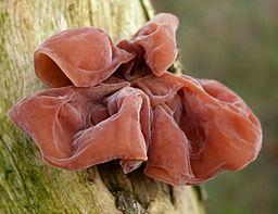 Hirneola auricula-judae (xndr) cropped
