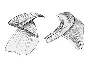 Histioteuthis - Beak of Histioteuthis bonnellii