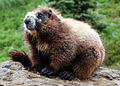 Hoary marmot rainier 2008.jpg