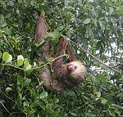 File:HoffmannSloth upright.jpg hoffmann sloth upright