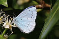 Holly blue (Celastrina argiolus) male underside.jpg