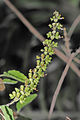 Holy Basil flowers.jpg