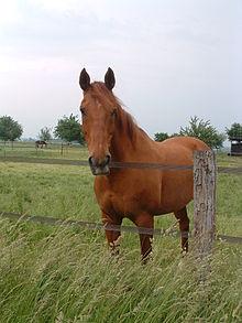 image cheval selle francais
