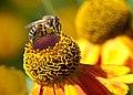 Honigbiene 1.jpg