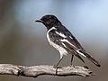 Hooded Robin male (5376569793).jpg