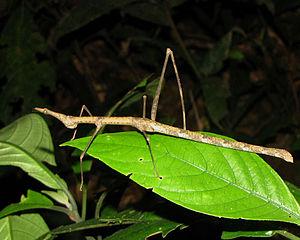 Proscopiidae - Horsehead grasshopper (Pseudoproscopia scabra), Tambopata National Reserve, Peru