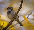 House sparrow (45349248972).jpg