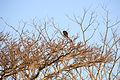Howler Monkey in tree on Volán Maderas.JPG