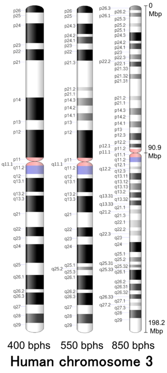 Chromosome 3 (human) - Image: Human chromosome 03 400 550 850 bphs