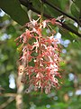 Humboldtia brunonis - Brown's Humboldtia at Peravoor (7).jpg