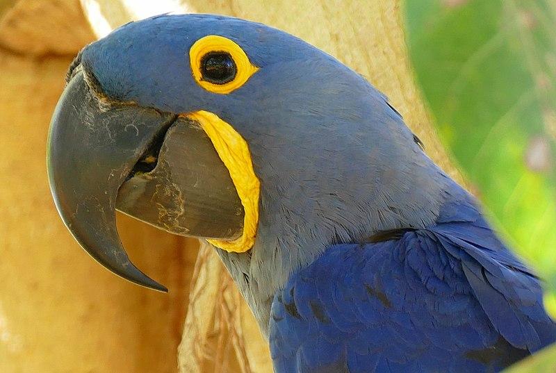 File:Hyacinth Macaw (Anodorhynchus hyacinthinus) (27569556513).jpg