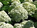 Hydrangea arborescens 01.JPG