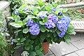 Hydrangea macrophylla 7zz.jpg