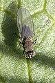 Hydrellia griseola 4.jpg