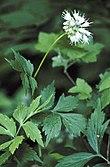 Hydrophyllum virginianum.jpg
