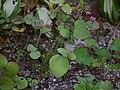 Hylotelephium ussuriense 2.JPG
