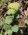 Hylotelephium verticillatum (Mount Ibuki).jpg