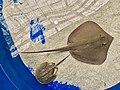 Hypanus Sabinus.jpg