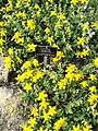 Hypericum cerastoides - Botanischer Garten Freiburg - DSC06443.jpg