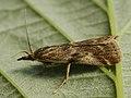 Hypochalcia propinquella (26342495097).jpg