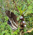 Hypolimnas bolina - Great Eggfly at Thillankeri 09.JPG