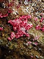 Hypomyces rosellus 609203.jpg