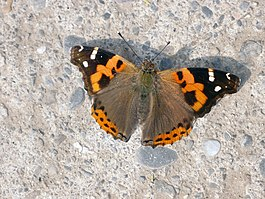 INDIAN RED ADMIRAL (4486639506).jpg