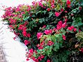 ISRAEL - Haiffa - Bahai Gardens (flowers).JPG