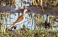 I guess this is a wood sandpiper. Am I right? (12308909343).jpg