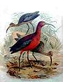 Ibis kasztanowatyRB.jpg