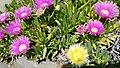 Iceplant flowers.jpg