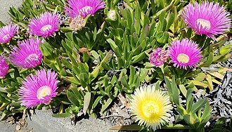Carpobrotus edulis - Purple and yellow flowering ice plants in Northern California.