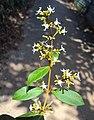 Ichnocarpus frutescens 24.JPG
