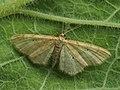 Idaea humiliata - Isle of Wight wave - Малая пяденица скромная (40263678374).jpg