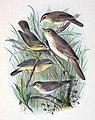 Iduna aedon & Phylloscopus armandii & Phylloscopus griseolus & Phylloscopus fuscatus & Phylloscopus affinis 1889.jpg