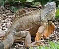Iguana iguana 14zz.jpg