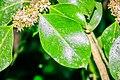 Ilex aquifolium in Aveyron (9).jpg