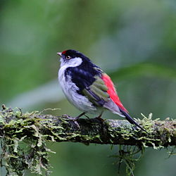 Ilicura militaris - Pin-tailed Manakin (male).JPG