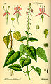 Illustration Circaea lutetiana0.jpg