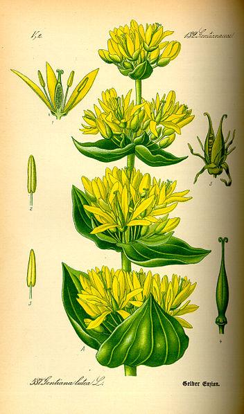 File:Illustration Gentiana lutea0.jpg