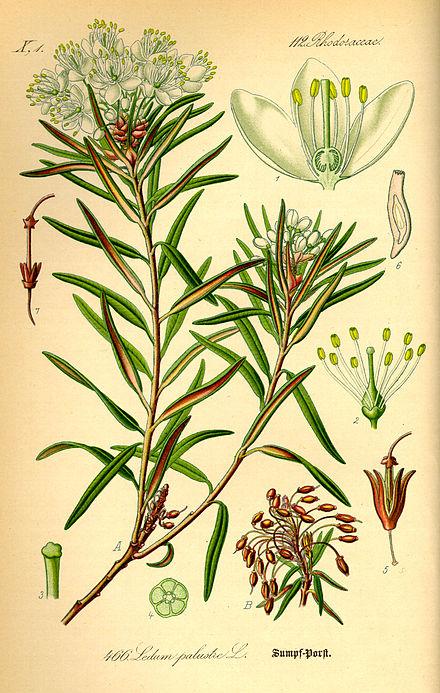 Ботаника розмарин